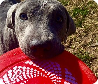 Staffordshire Bull Terrier Rescue Oregon Hud | Adopted Puppy | ...