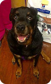Rottweiler Dog for adoption in Oak Ridge, New Jersey - Asia- BIG MUSH!