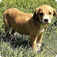 Adopt A Pet :: Bode - Brattleboro, VT