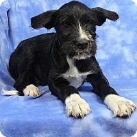 Adopt A Pet :: BEAKER - Westminster, CO