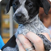 Adopt A Pet :: Lottie - Holly Springs, NC