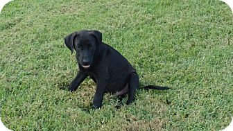 Labrador Retriever/Shepherd (Unknown Type) Mix Dog for adoption in Warrenton, North Carolina - Bear