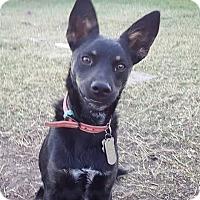 Adopt A Pet :: Shiner - Weatherford, TX