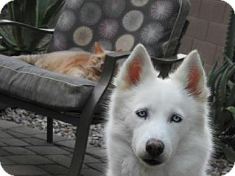 Siberian Husky Dog for adoption in Scottsdale, Arizona - Sheba