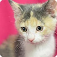Adopt A Pet :: Cappuccino161648 - Atlanta, GA