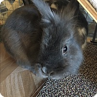 Lionhead for adoption in Troy, Michigan - Lucky