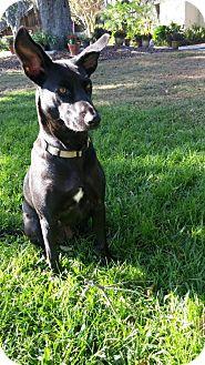 Labrador Retriever/Shepherd (Unknown Type) Mix Dog for adoption in Lithia, Florida - Diamond-16 Winter Haven Fl
