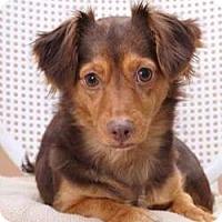 Adopt A Pet :: Brownie - Sudbury, MA
