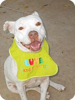 Staffordshire Bull Terrier Dog for adoption in Phoenix, Arizona - XENA