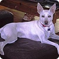 Adopt A Pet :: Phoebe - Encino, CA