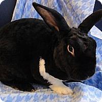 Adopt A Pet :: Rexy Gentlebun - Los Angeles, CA