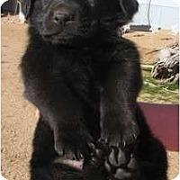 Adopt A Pet :: Coley - Golden Valley, AZ