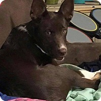 Adopt A Pet :: Bugsy in CT - Manchester, CT