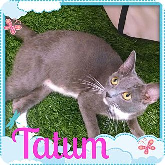 Russian Blue Cat for adoption in Maryville, Tennessee - Tatum