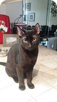 Havana Brown Cat for adoption in Mission Viejo, California - Sigmund