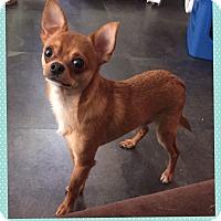 Adopt A Pet :: Lemur (Pom-dc) - Windham, NH