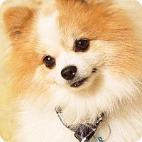 Adopt A Pet :: Mr. Fluffers - Gilbert, AZ