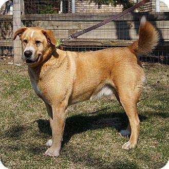 Golden Retriever Mix Dog for adoption in Minnetonka, Minnesota - Charley