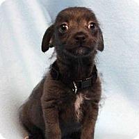 Adopt A Pet :: FOXTROT - Westminster, CO
