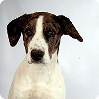 Adopt A Pet :: Ruby Catahoula Mix - St. Louis, MO