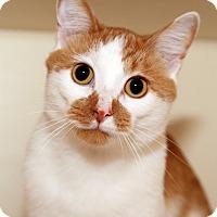 Domestic Shorthair Cat for adoption in Royal Oak, Michigan - FRITZ