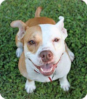 American Bulldog Dog for adoption in Ocala, Florida - Gia