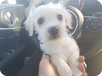 Maltese/Toy Fox Terrier Mix Puppy for adoption in Inland Empire, California - BING