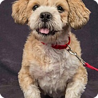 Shih Tzu/Poodle (Miniature) Mix Dog for adoption in Davis, California - Rambo