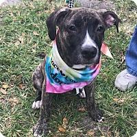 Adopt A Pet :: Csonka - Ft. Lauderdale, FL