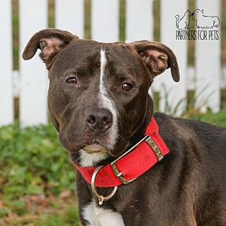 Pit Bull Terrier Dog for adoption in Troy, Illinois - Gypsy