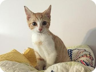 Domestic Shorthair Cat for adoption in Harrisburg, Pennsylvania - Oliver (teenage male)