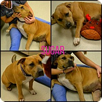 Adopt A Pet :: Sugar - Beaumont, TX