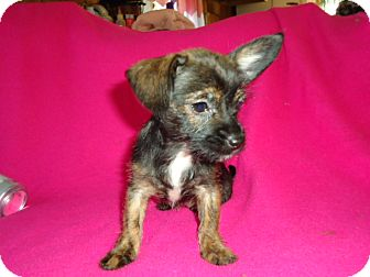 Terrier (Unknown Type, Small)/Chihuahua Mix Puppy for adoption in Allentown, Pennsylvania - Tiny