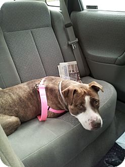 American Staffordshire Terrier Dog for adoption in Long Beach, New York - Mocha