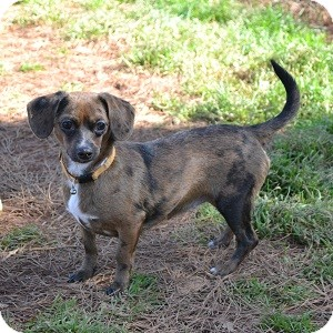 Dachshund Mix Dog for adoption in Athens, Georgia - Chrissy