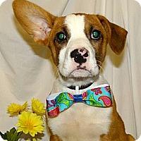 Adopt A Pet :: *Connor - PENDING - Westport, CT
