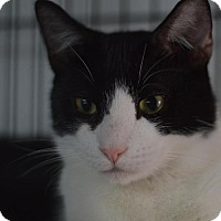 Domestic Shorthair Cat for adoption in Staten Island, New York - Timmy