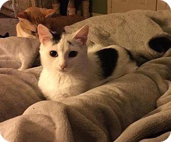 Domestic Shorthair Kitten for adoption in Hamilton, Ontario - Rizzo