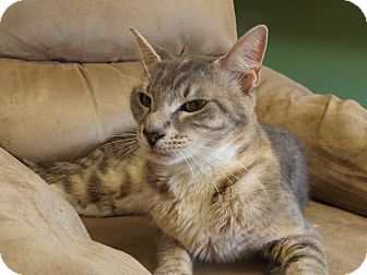 Domestic Shorthair Cat for adoption in Floral City, Florida - Maria