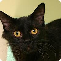 Domestic Mediumhair Cat for adoption in Hastings, Nebraska - Iris