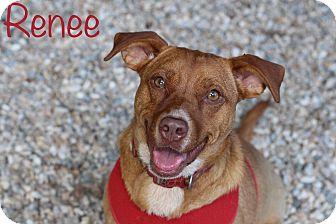 Vizsla/Labrador Retriever Mix Dog for adoption in Middlebury, Connecticut - Renee