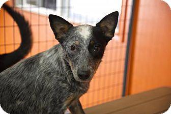 Australian Cattle Dog Dog for adoption in Salt Lake City, Utah - Henny