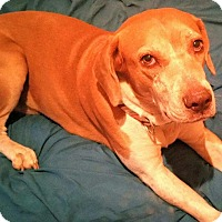 Adopt A Pet :: LADYBIRD - 3 YEAR HOUND FEMALE - Mesa, AZ
