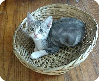 American Shorthair Kitten for adoption in Texarkana, Arkansas - Dooby