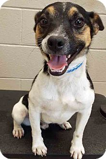 Rat Terrier Mix Dog for adoption in Plainfield, Illinois - ADOPTED!!!   Frazier