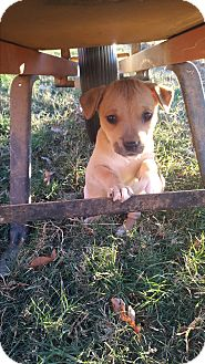 Beagle/Terrier (Unknown Type, Small) Mix Puppy for adoption in Glastonbury, Connecticut - Phoenix
