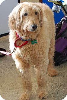Labradoodle Dog for adoption in West Los Angeles, California - Carl