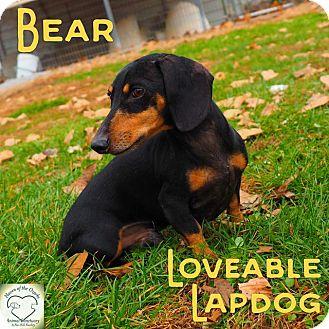Dachshund Dog for adoption in Washburn, Missouri - Bear