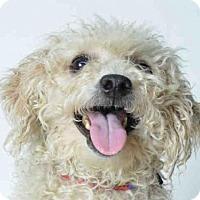 Adopt A Pet :: SNOWFLAKE - Ukiah, CA