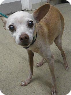 Chihuahua/Italian Greyhound Mix Dog for adoption in Ogden, Utah ...